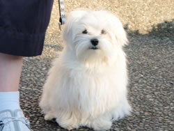 bentley-maltese