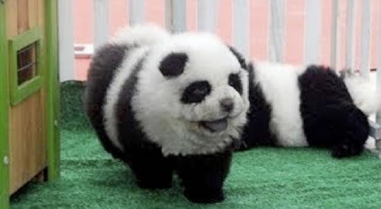 Popular Unknown Chubby Adorable Dog - PandaDog-28Feb15  2018_198559  .jpg?x62713